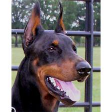 View full profile for Charismatic Dobermans