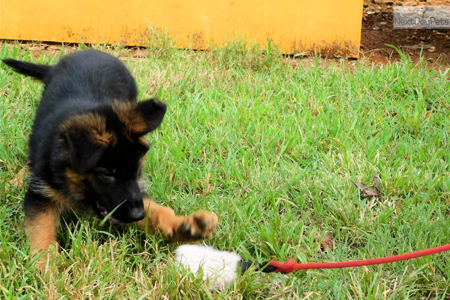 German Shepherd Puppy For Sale Near Bowling Green Kentucky