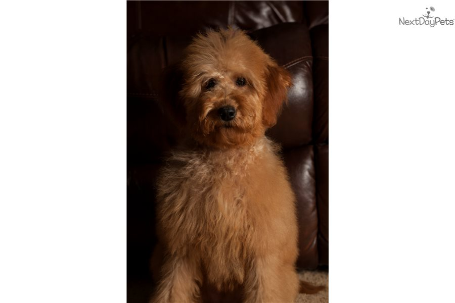 Ginger Goldendoodle Puppy For Sale Near Indianapolis
