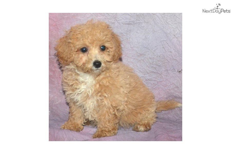 Apricot Poochon Bich Poo Bichpoo Puppy For Sale Near New
