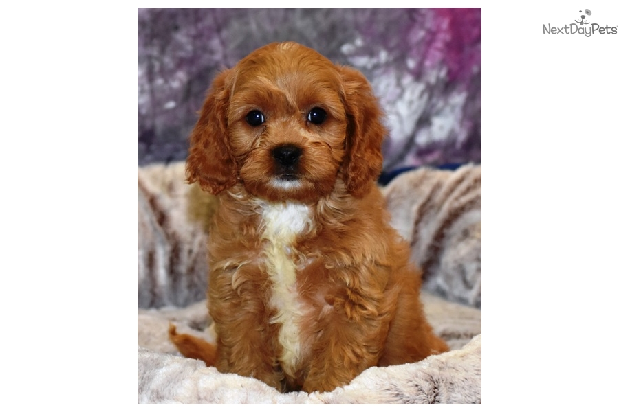 Red Boy Cavapoo Cavapoo Puppy For Sale Near New Hampshire