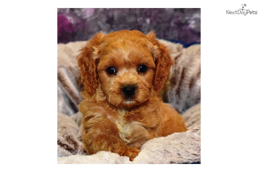 Cavapoo Cavapoo breeders Puppies t