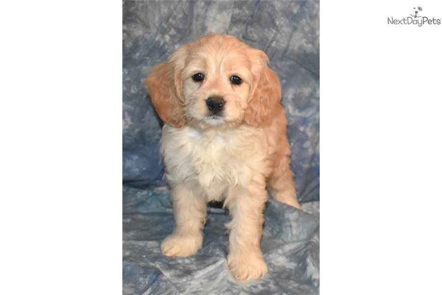 Cockadoodle Girl Cockapoo Puppy For Sale Near New -9799