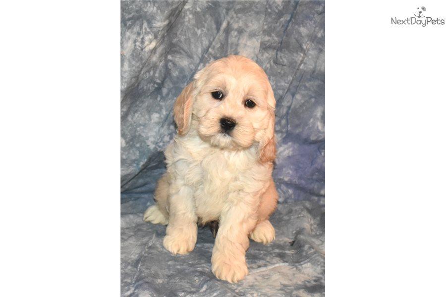 M Cockadoodle Cockapoo Puppy For Sale Near New Hampshire -5501