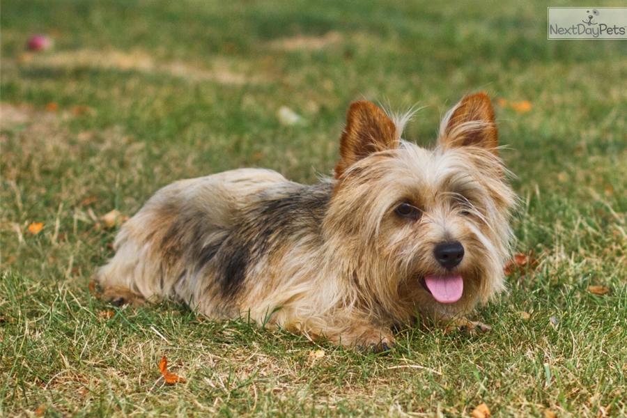 AKC Norwich female | Norwich Terrier puppy for sale near ...