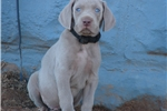 Picture of a Weimaraner Puppy