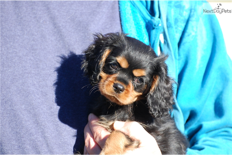 Orange Collar Male: Cavalier King Charles Spaniel puppy for