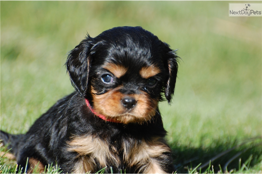 Red Collar Male: Cavalier King Charles Spaniel puppy for