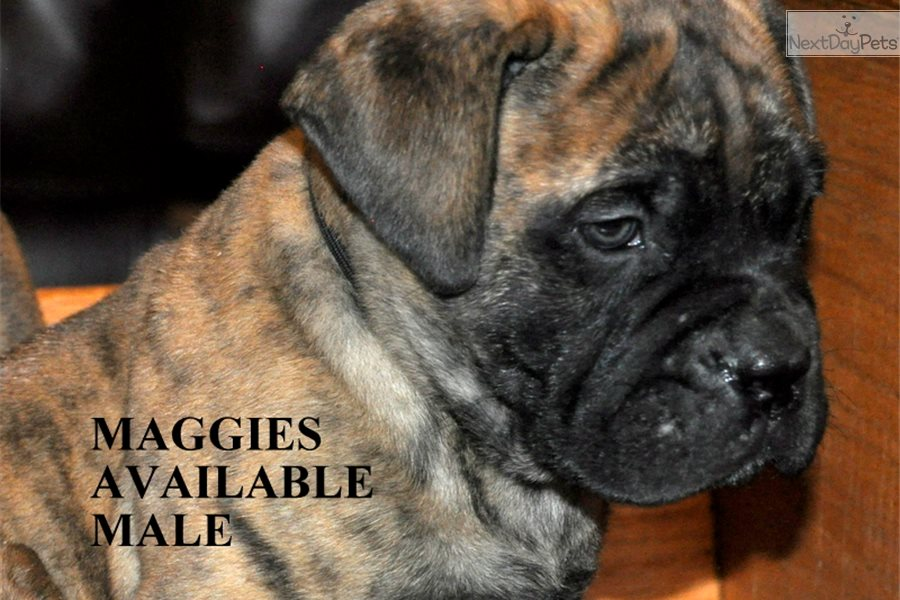 Bullmastiff Puppies and Dogs for Sale in New Mexico USA