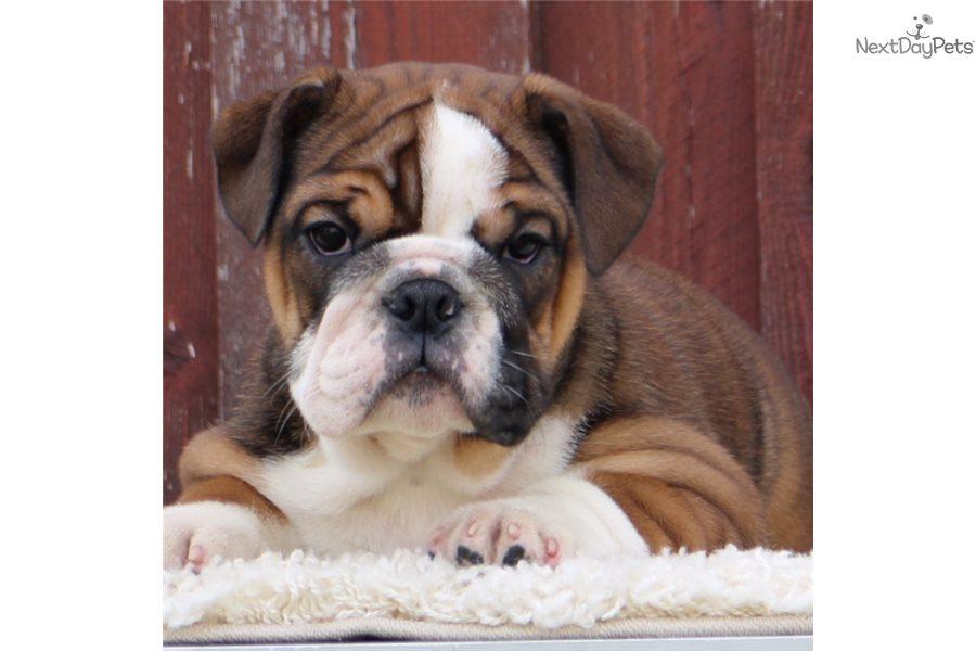 Antonia: English Bulldog puppy for sale near Dallas / Fort
