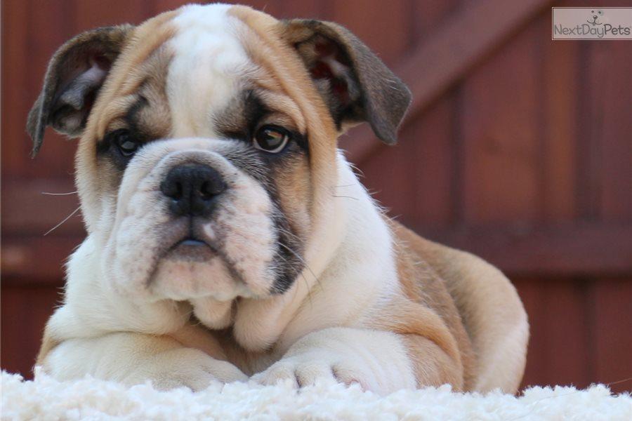 Mila English Bulldog Puppy For Sale Near Dallas Fort Worth Texas