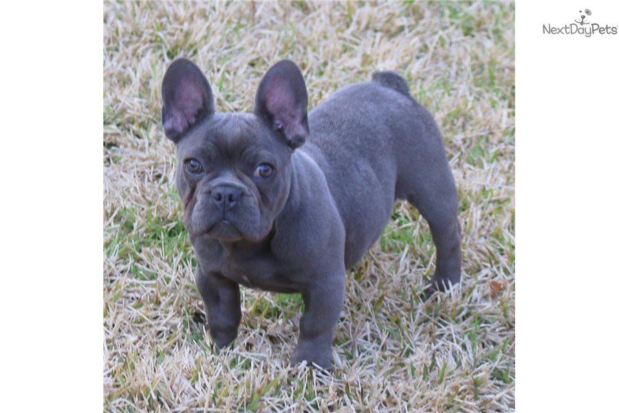 Hazel Blue French Bu: French Bulldog puppy for sale near Dallas