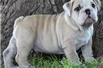 Picture of Bulldog Hero