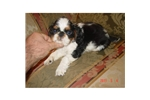 Picture of an English Toy Spaniel Puppy