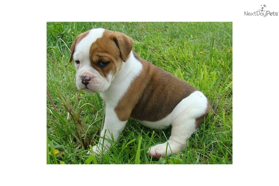 Red and White female | Olde English Bulldogge puppy for ...