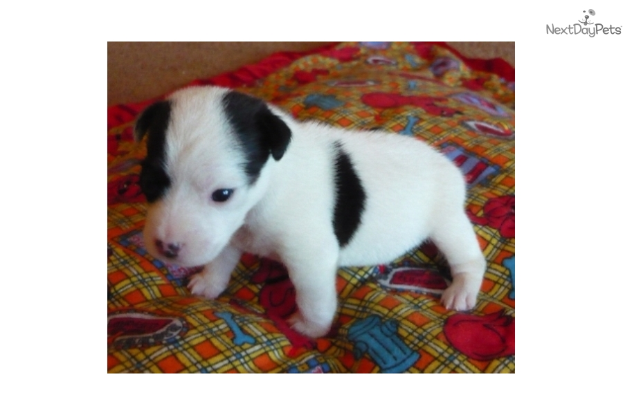 Little Boy Jack Russell Terrier Puppy For Sale Near Portland