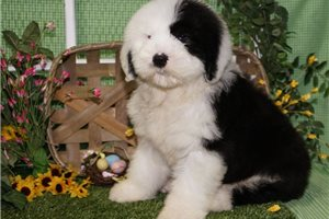 Olde English Sheepdogs for sale
