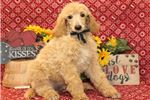 Picture of Spurr - AKC Standard Poodle