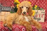 Picture of Gibbs - AKC Standard Poodle