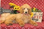 Picture of Miles - AKC Standard Poodle