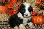 Picture of Sheepadoodle Puppy For Sale - Remi