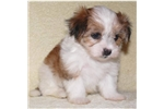 Picture of a Mal-Shi - Malshi Puppy