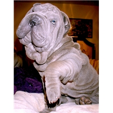 View full profile for Beaux-Art Chinese Shar-Pei