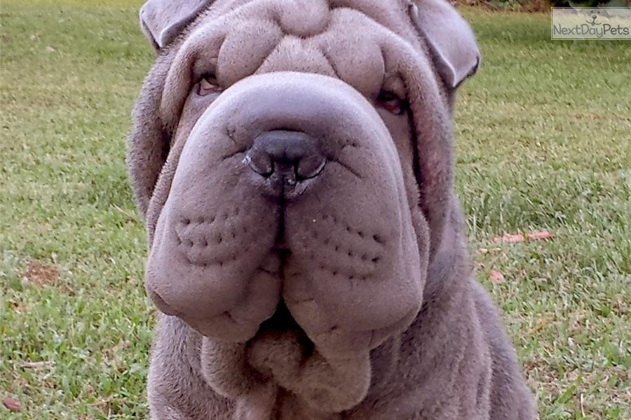 Puppies For Sale From Beaux Art Chinese Shar Pei Member Since