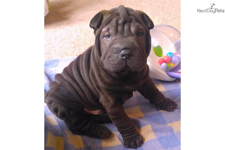 Bok Choy Chinese Shar Pei Puppy For Sale Near Hickory Lenoir