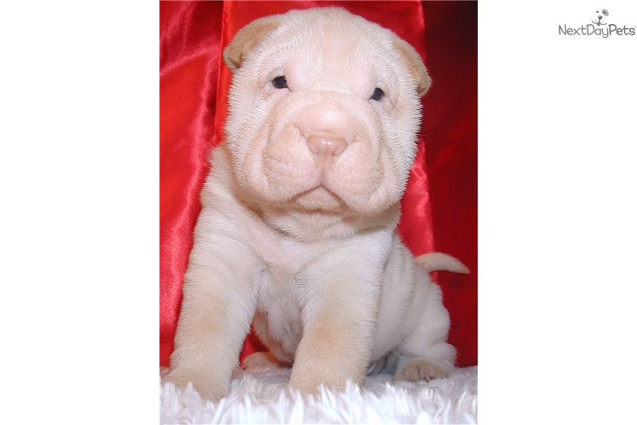 Snowball Chinese Shar Pei Puppy For Sale Near Hickory Lenoir