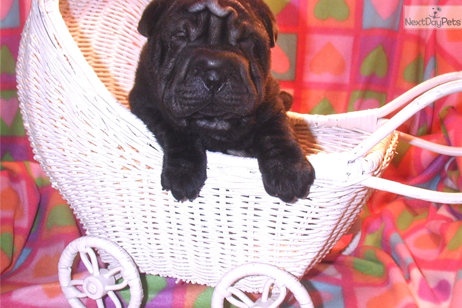 Chinese Shar Pei Puppy For Sale Near Hickory Lenoir North