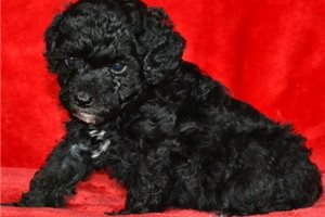 Picture of AKC Marley