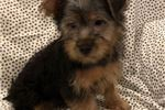 Picture of AKC Sparky