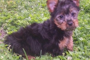 Silky Terriers for sale