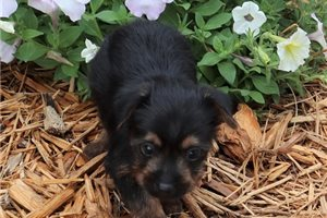 Picture of AKC Spencer