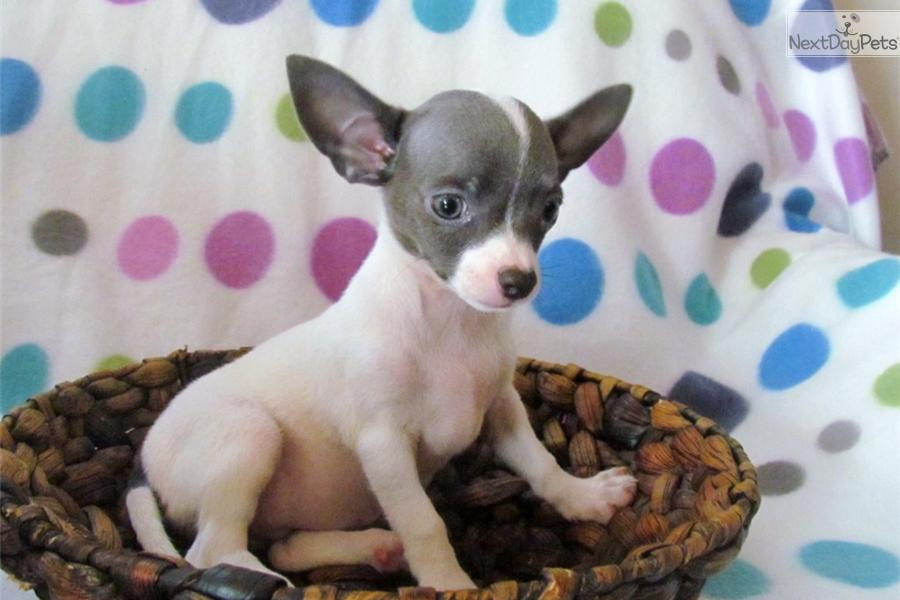 chihuahua puppies for sale in sc meet female a cute chihuahua puppy for sale for 400 ckc 7470