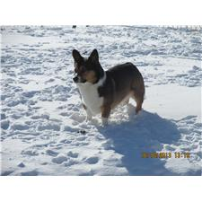 View full profile for Shooting Star Farm Corgis