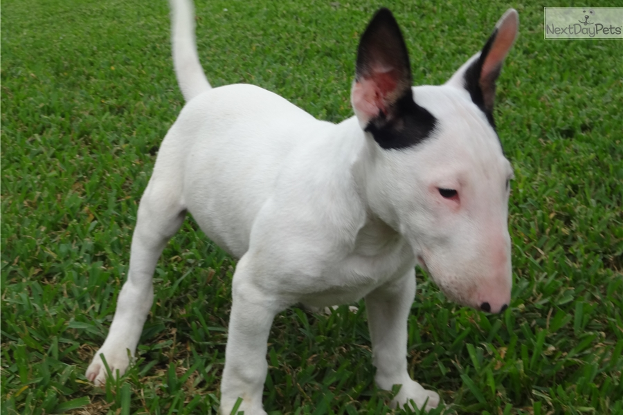 bull terrier puppies for sale near me bull terrier puppy for sale near houston texas 2054b545 1706