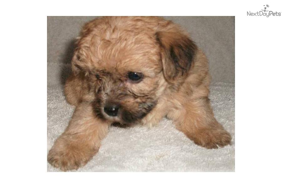 Yorkiepoo Yorkie Poo Puppy For Adoption Near 61d9e517 42b2