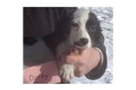 Picture of Spunky Spaniel Darby (fr)