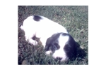 Picture of Spunky Spaniel Dover (fp)