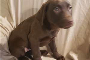 Picture of AKC Sophia