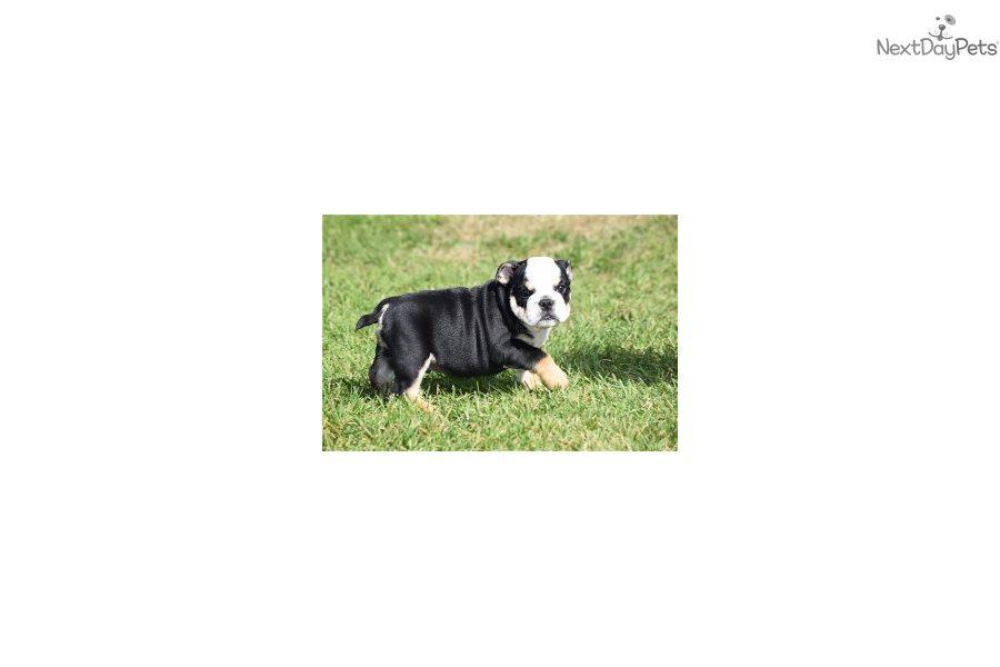 Gavin English Bulldog Puppy For Sale Near Springfield