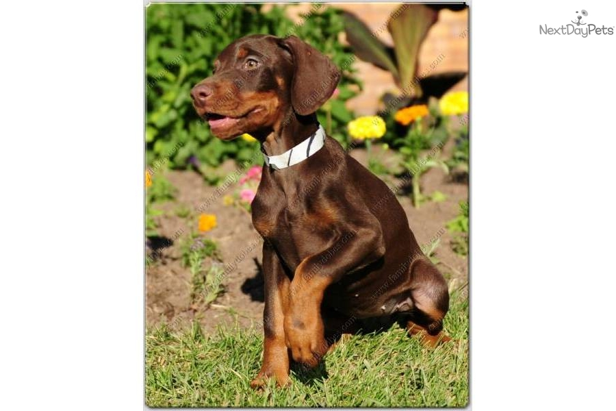 Pin European Doberman Puppies For Sale Image Search ...