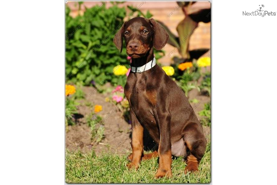 Doberman Pinscher puppy for sale near Provo / Orem, Utah ...