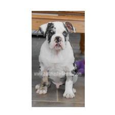 View full profile for Bull Master Kennels