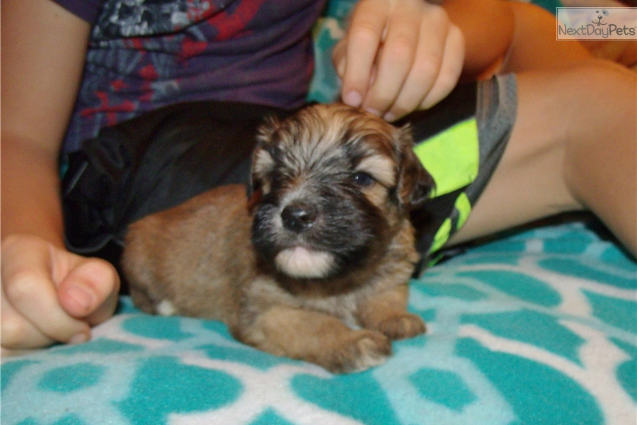 Whoodle Puppy For Sale Near Los Angeles California