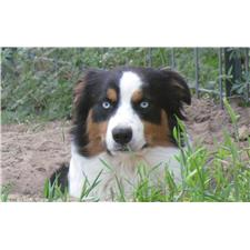 View full profile for Spanish Oak Australian Shepherds