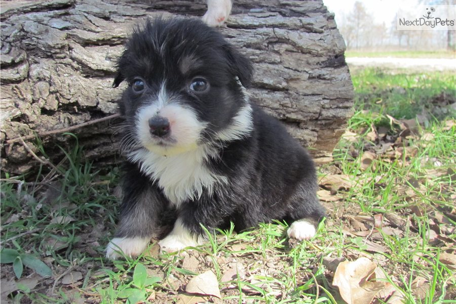 Australian Shepherd Black And White: July 2012 Mini Aussie