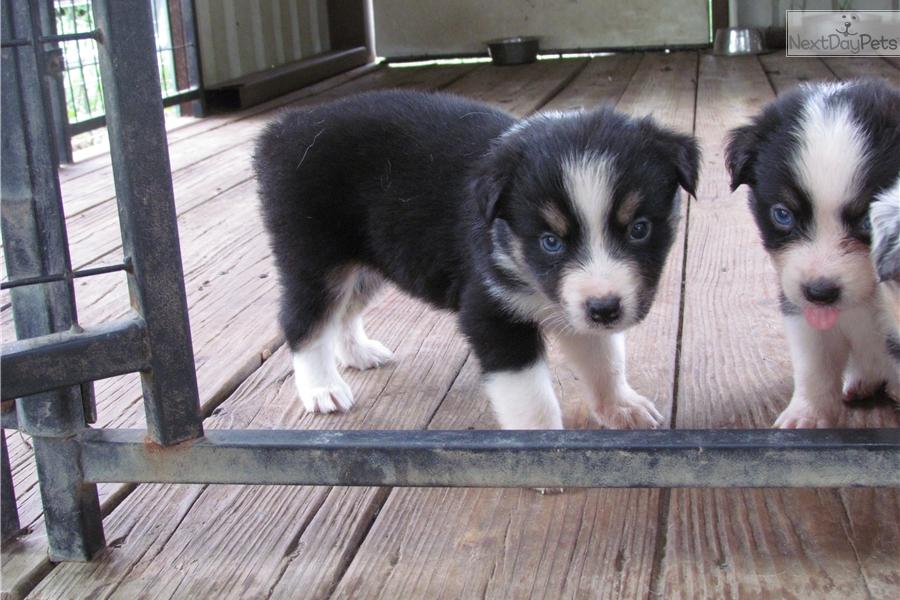 Australian Shepherd puppy for sale near Austin, Texas